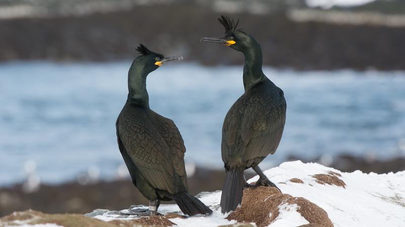 Shag, Phalacrocorax aristotelis. Hornøya, Norway.