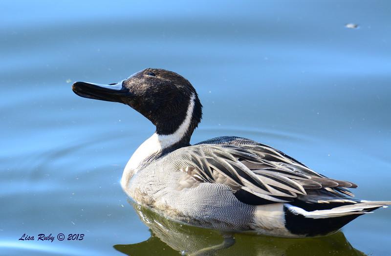 Northern Pintail - 12/23/13 - Santee Lakes