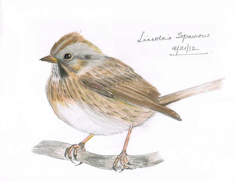 Lincoln's Sparrow - September 2012