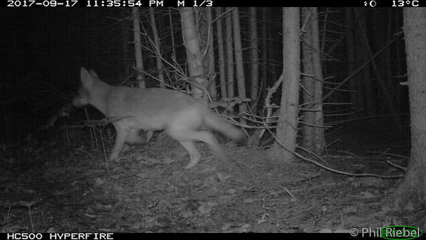 Eastern Coyote (Canis latrans)
