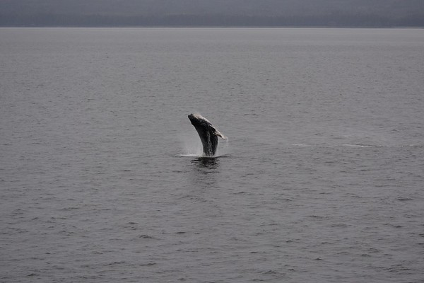 Humpback Whale  in Stephens Passage - Twenty Minutes of Breaching