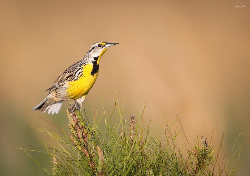 Eastern Meadowlark