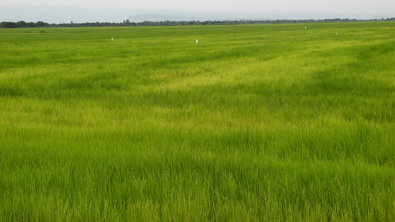 A rice field on the way back to Bangkok.