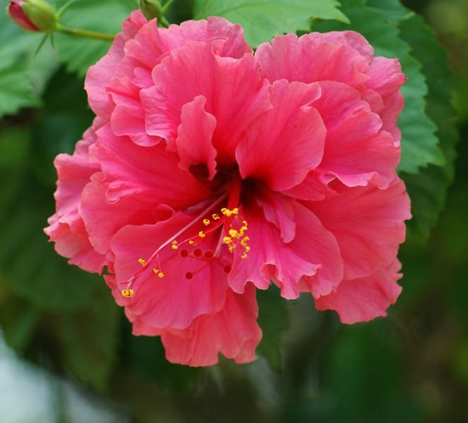 Pink Flower at Safari.JPG