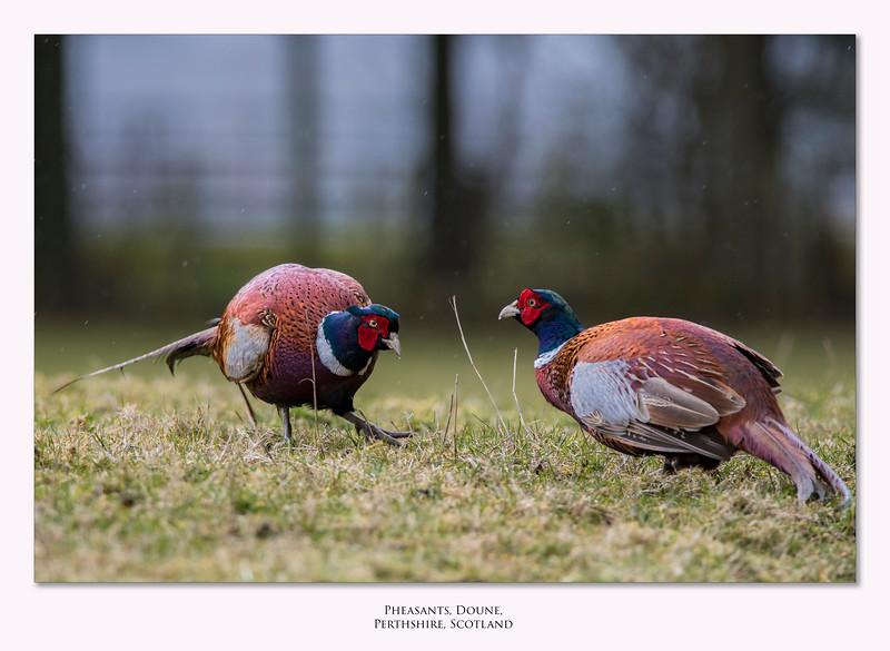 Pheasants_border2.jpg