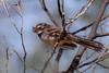 Grey Fantail (Rhipidura fuliginosa) - Wallaby Gully Flora Reserve (Euroa), Victoria