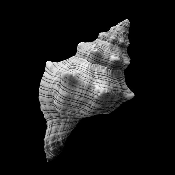 Trapezium Horse Conch sea shell