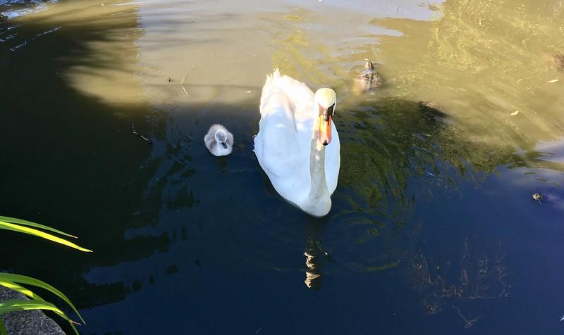 Duckling season again!