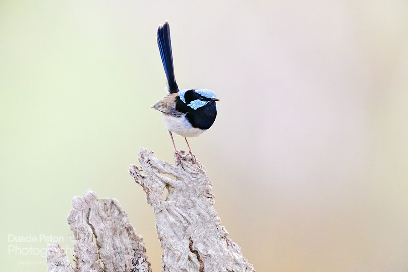 Superb Fairy-wren ISO32000