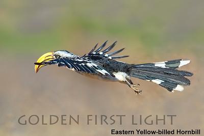 Eastern Yellow-billed Hornbill, Kenya