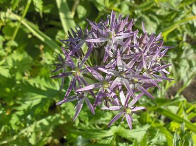 Allium christophii.jpg