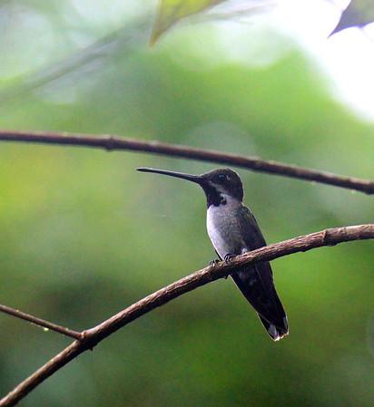 Hummingbird, Long-billed Starthroat