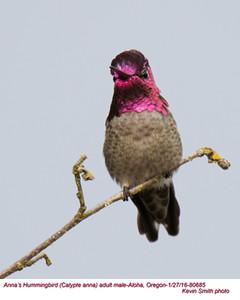 Anna's Hummingbird M80685.jpg