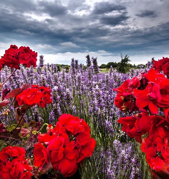red and lavendar fields.jpg