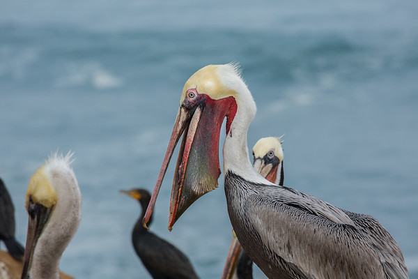 Gular Pouch of the California Brown Pelican February 2018
