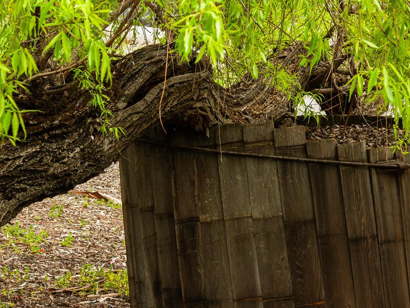 Branch, Picchetti Winery , Cupertino, California, 2009