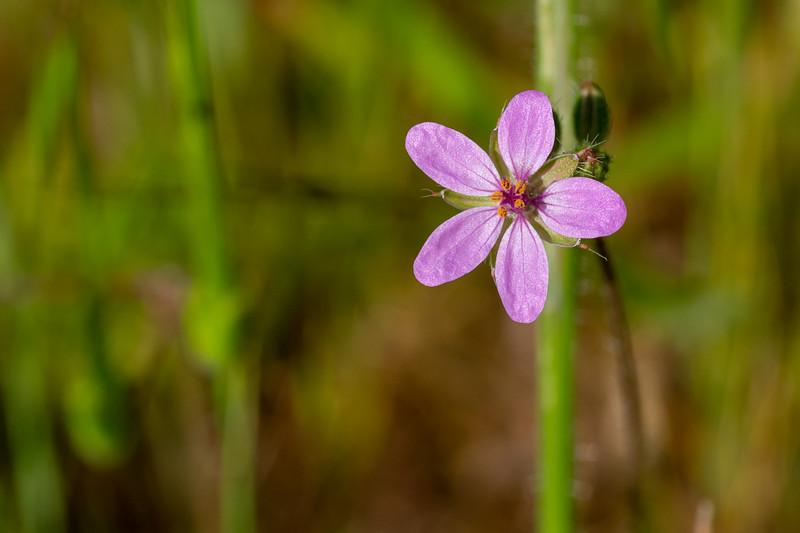 Unidentified wildflower - Los Altos, CA, USA