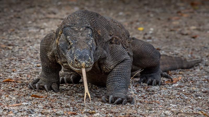 Komodo Dragons-2225.jpg