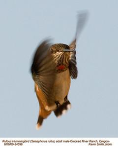 RufousHummingbirdM24396.jpg