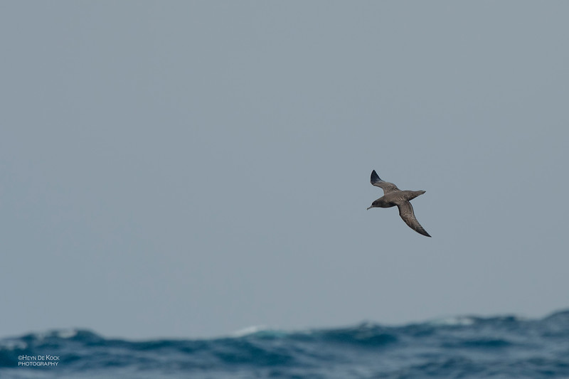 Sooty Shearwater, Eaglehawk Neck Pelagic, TAS, Dec 2019-1.jpg