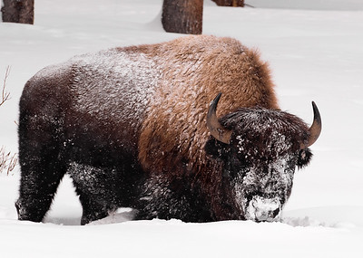This bison is big and healthy despite the brutal winter conditions in Yellowstone National Park.