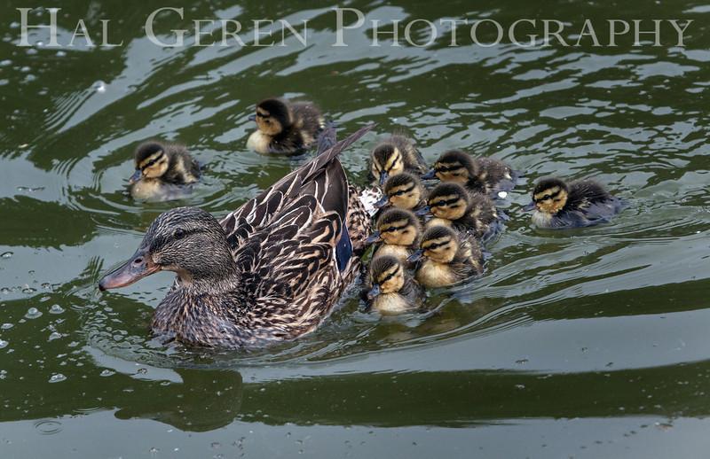 Duck Brood Newark, California 1304N-DB1