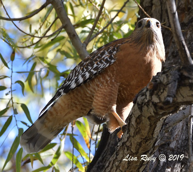 Red-shouldered Hawk  - 12/01/2019 - Lindo Lake