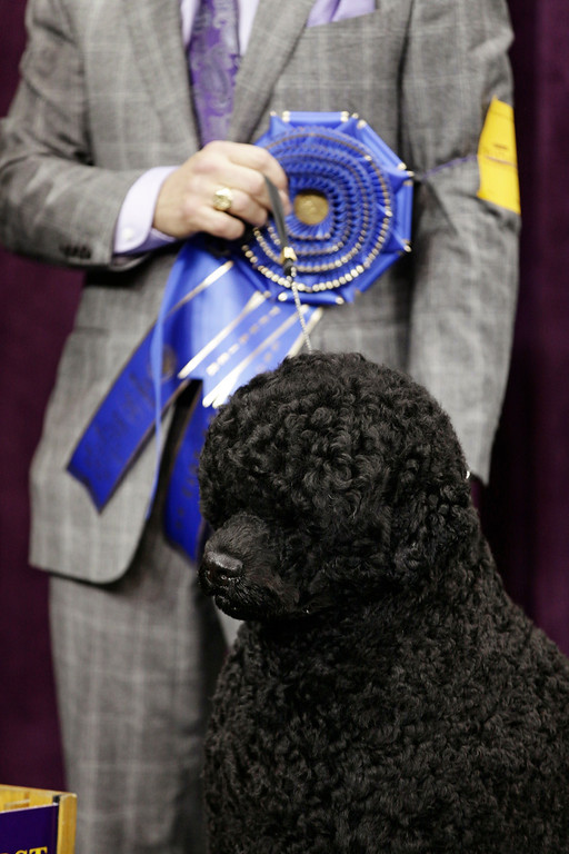 . Matisse, a Portuguese water dog and winner of the working group, is shown during the 137th Westminster Kennel Club dog show, Tuesday, Feb. 12, 2013, at Madison Square Garden in New York. (AP Photo/Frank Franklin II)