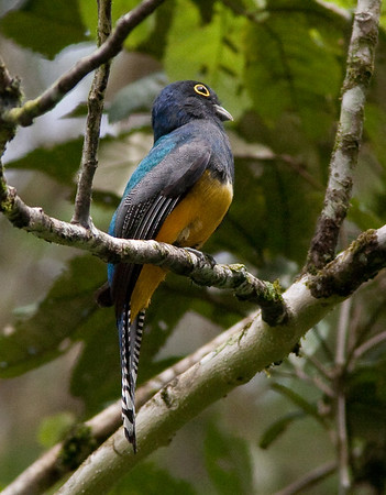 Trogons and Quetzal