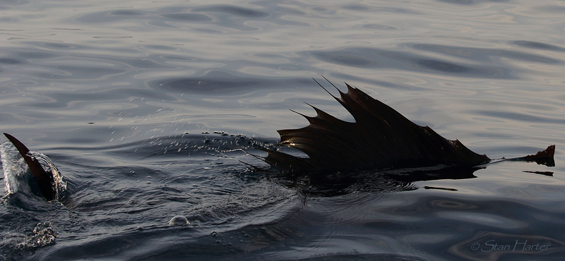 Sailfish Fins.jpg