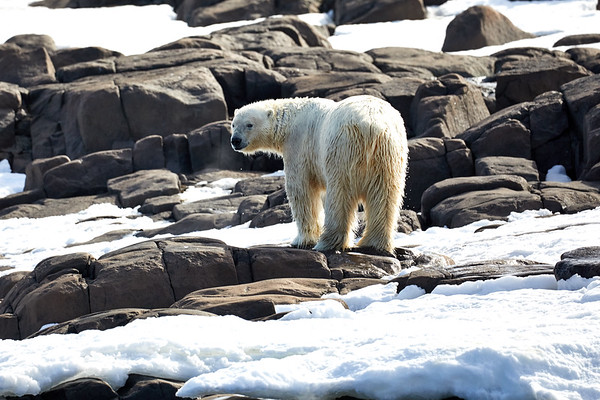 Polar Bears on Island Svalbard Norway 2018