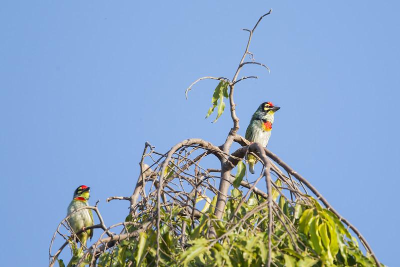 Coppersmith Barbet - Ambazari garden, Nagpur, India