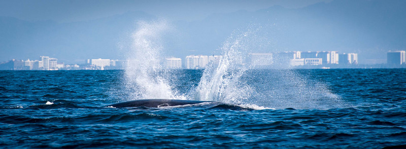 I love the juxtaposition of the whale spouts against the city Puerto Vallarta and the Sierra Madre mountains.