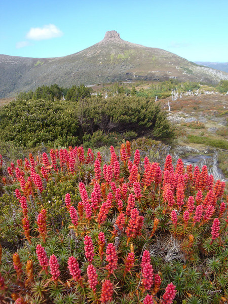 Mt Pelion East red flowers portrait.JPG