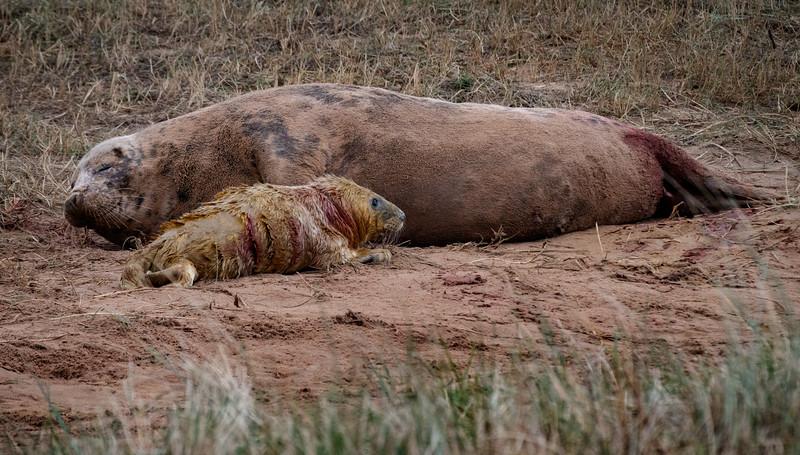 New Born Atlantic Grey Seal Pup