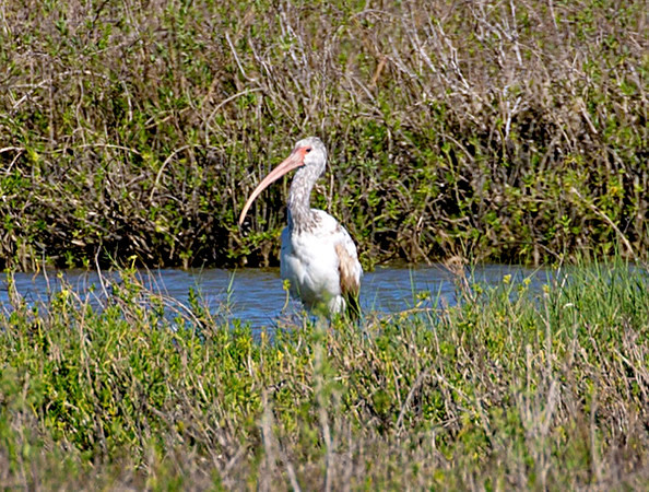 In the distance: A Juvenile White Ibis.