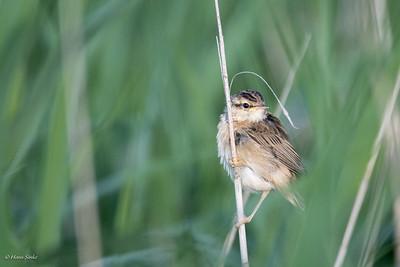 Warbler, Sedge
