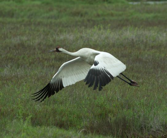 Whooping Crane Grus americana