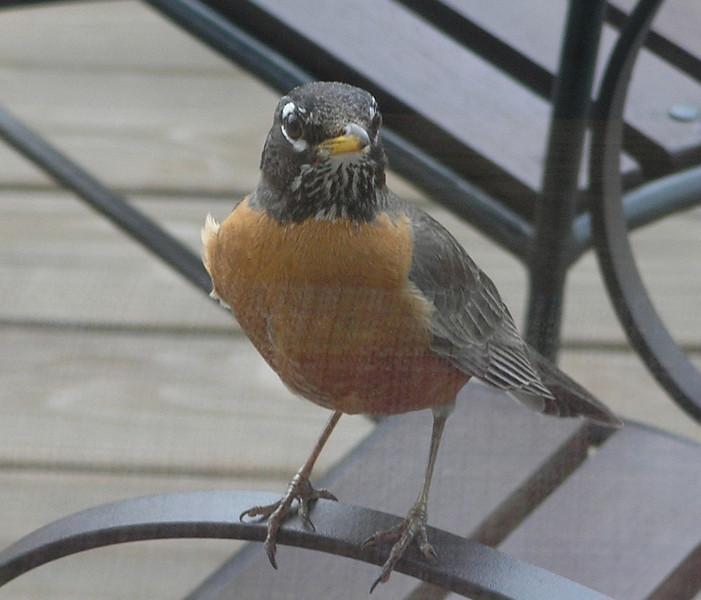 2005-04-10 - Inquisitive Robin