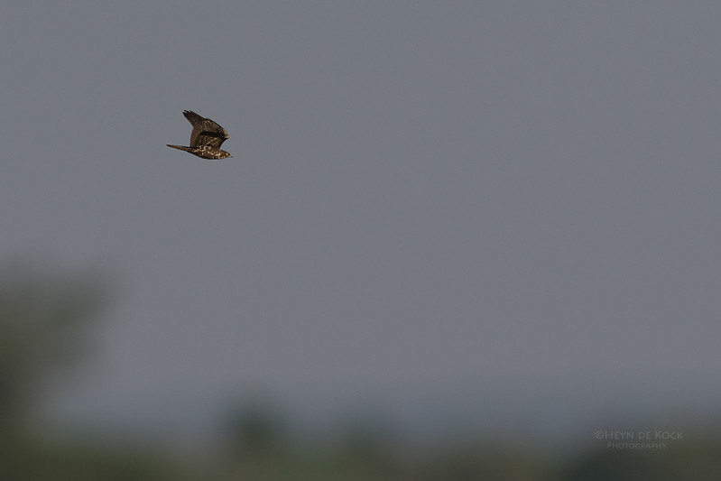 Bat Hawk, Chobe River, NAM, Oct 2016-1.jpg