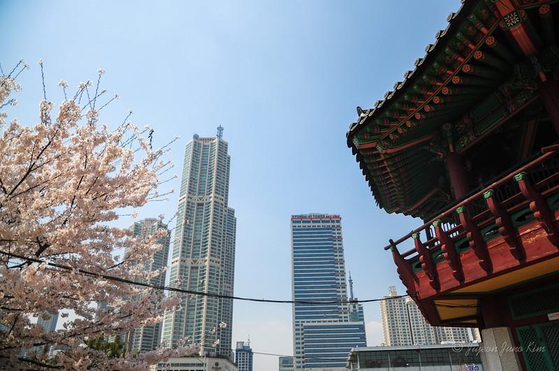 Korea-Cherry blossom-2962.jpg