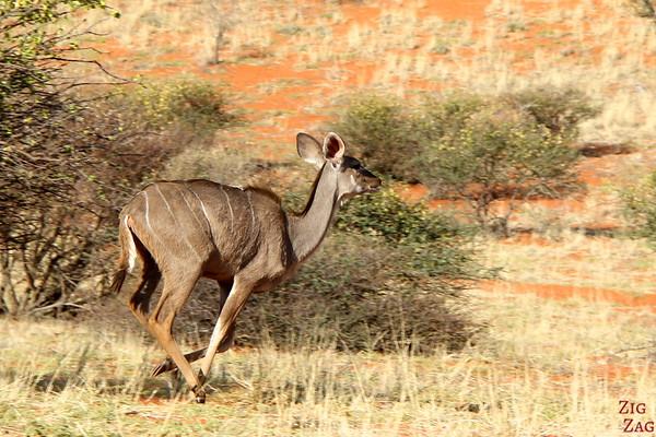 Game drive Kalahari desert, Namibia: Kudu