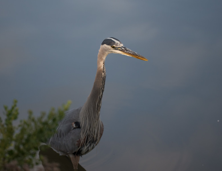 Great Blue Heron watching for fish in Pond B.