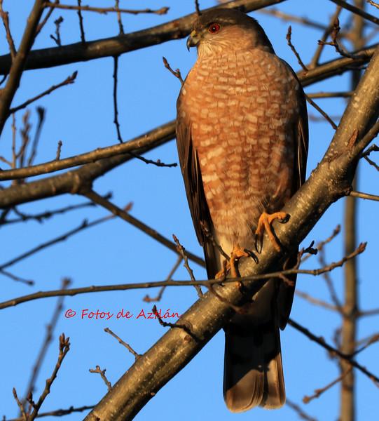 Hawk1 IMG_1750.jpg