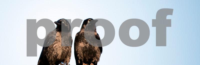 crows on roof 1.jpg