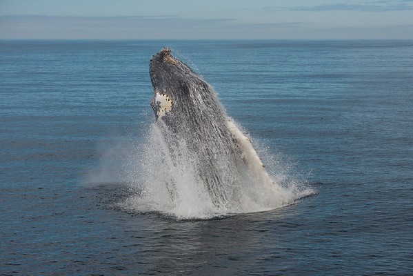Humpback Whales in Moss Landing