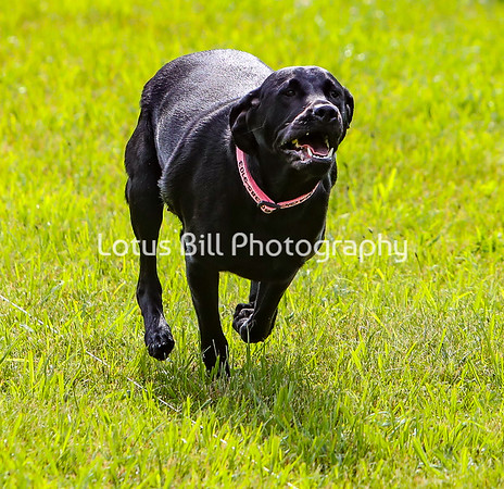 Magic Black Labrador DH2