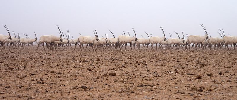 Arabian Oryx (82).jpg