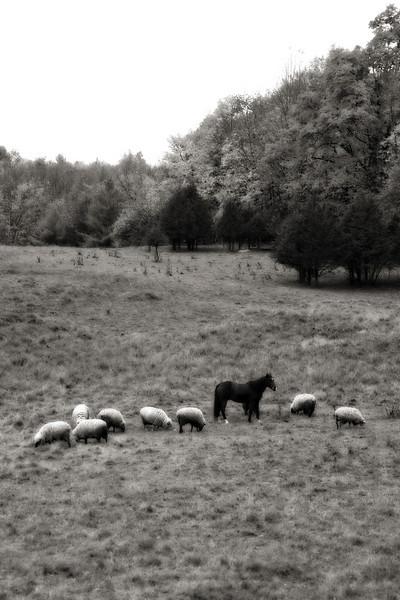 Horse-sheep SFH 1.jpg