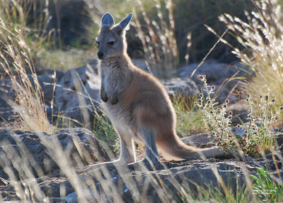 Western Grey Kangaroo (Macropusfuliginosus)